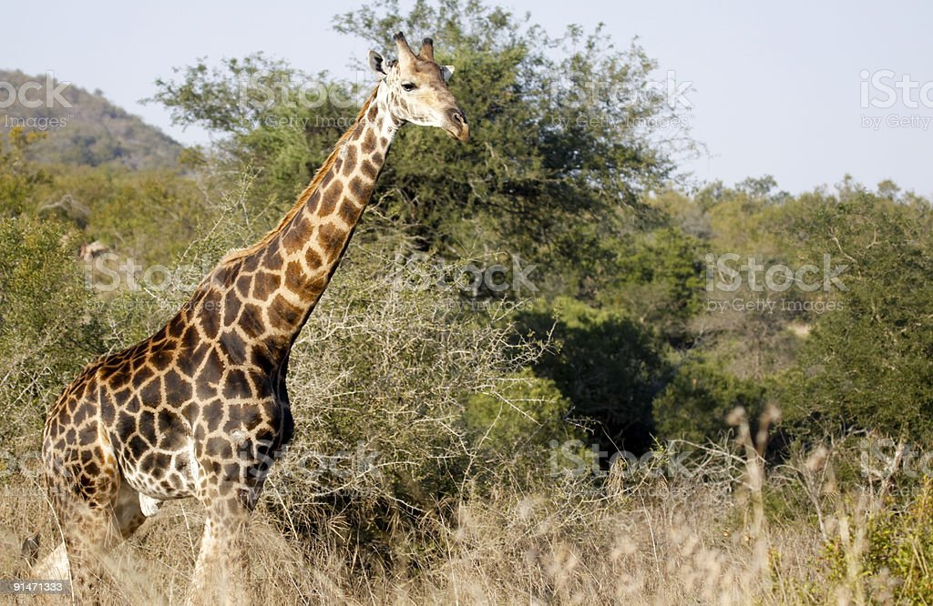 Giraffe in Kruger Park, South Africa stock photo