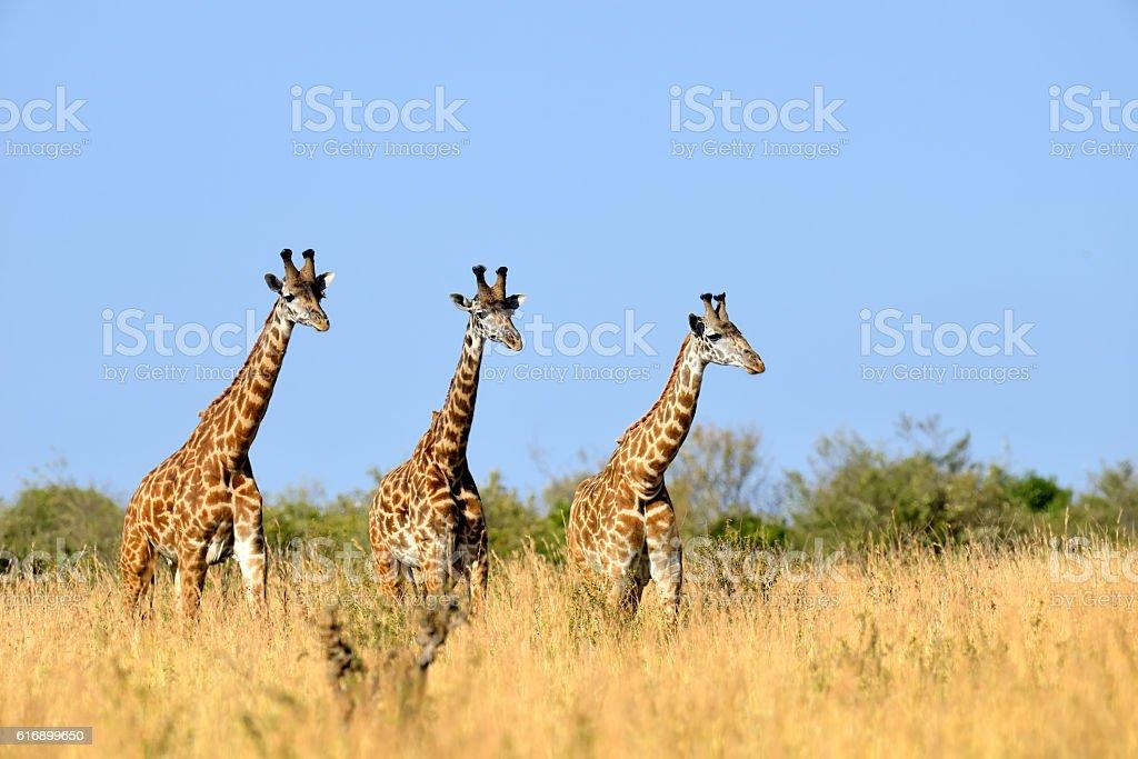 Giraffe in National park of Kenya stock photo