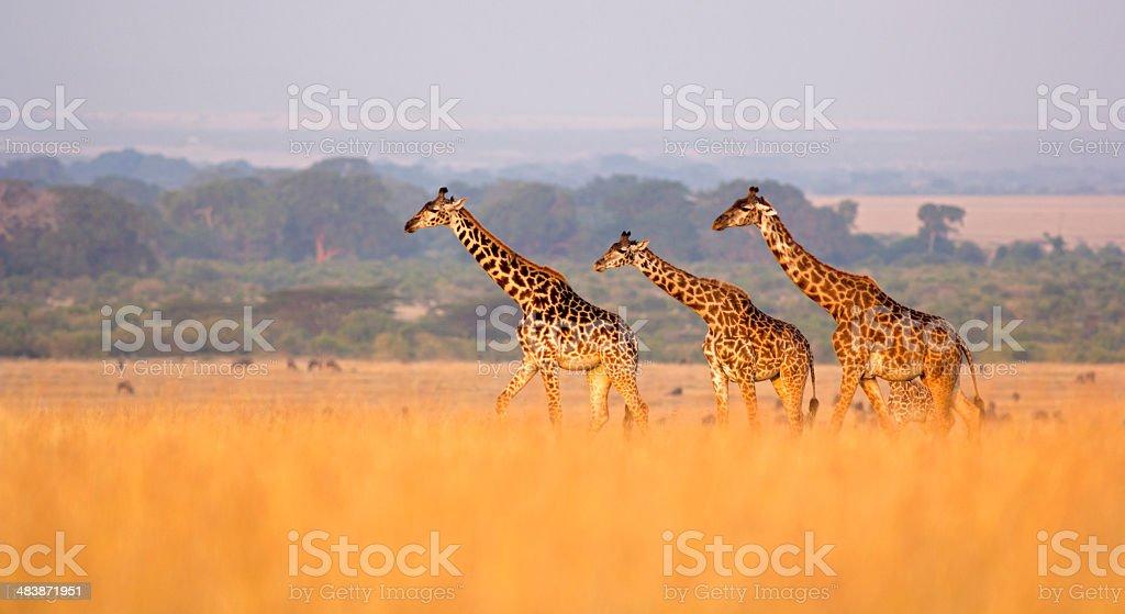 Giraffe in savannah stock photo