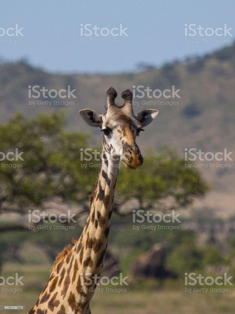 Giraffe in Serengeti in Africa. stock photo