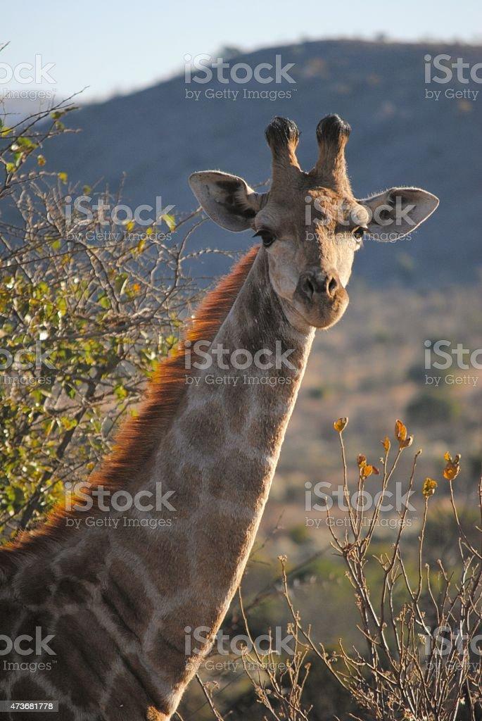 Giraffe in South Africa stock photo