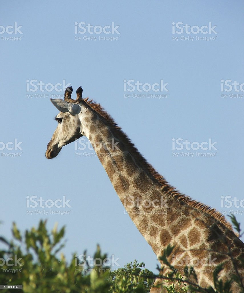 Giraffe in South African Game Reserve royalty-free stock photo