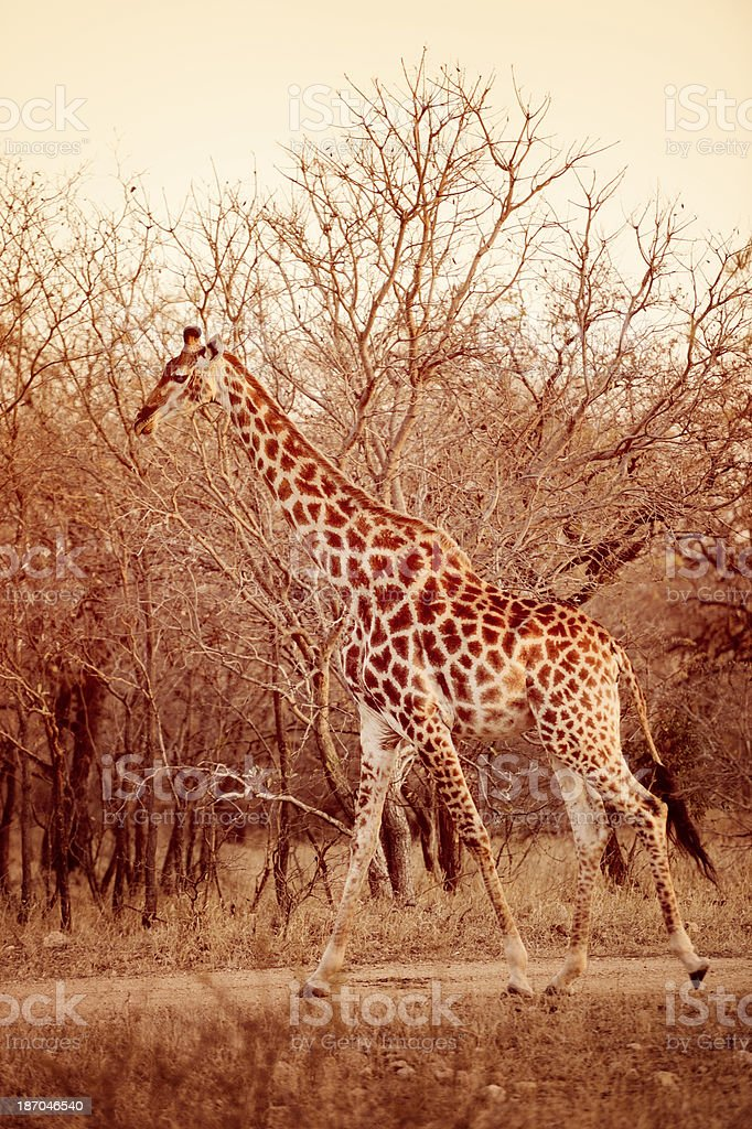 Giraffe In The African Bush - Tall and Graceful royalty-free stock photo