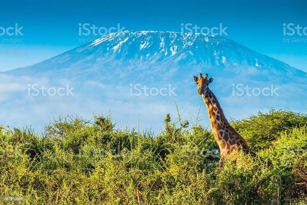 Giraffe in the bush stock photo