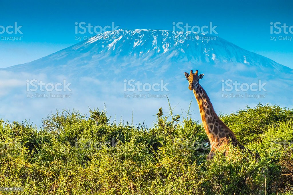 Giraffe in the bush stock photo