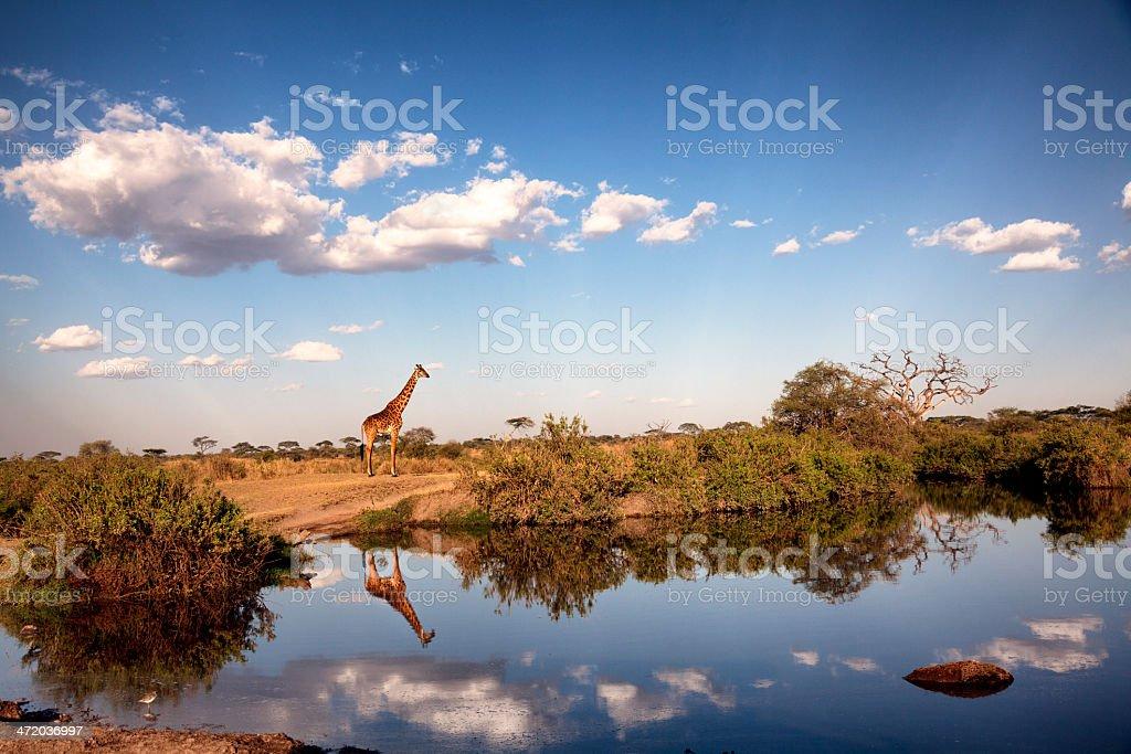 Giraffe in the evening light: Serengeti, Tanzania royalty-free stock photo