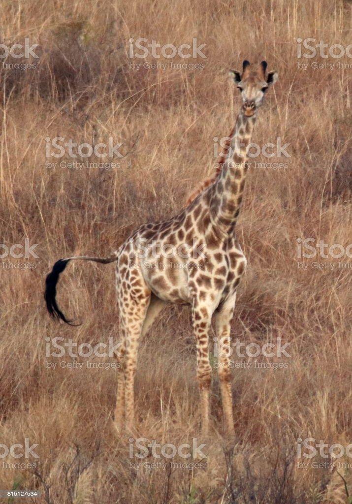 Giraffe in the Grass stock photo