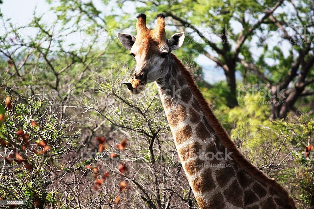 Giraffe in the Kruger National Park South Africa Close-up, stock photo