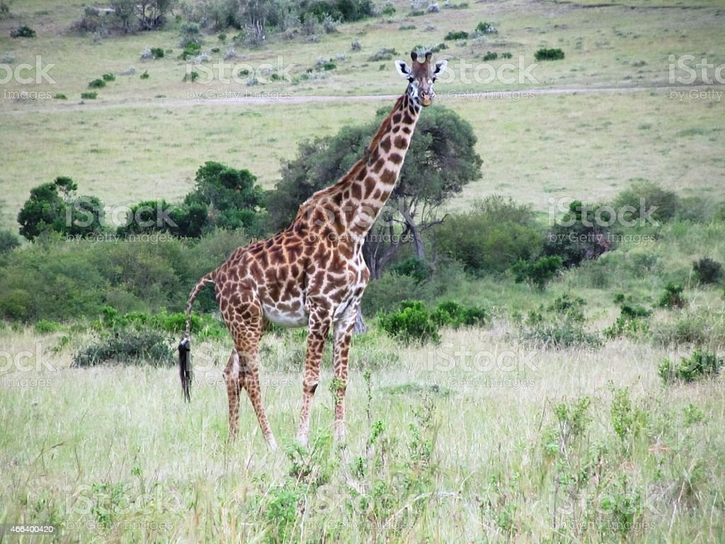 Giraffe in the Masai Mara Kenya stock photo