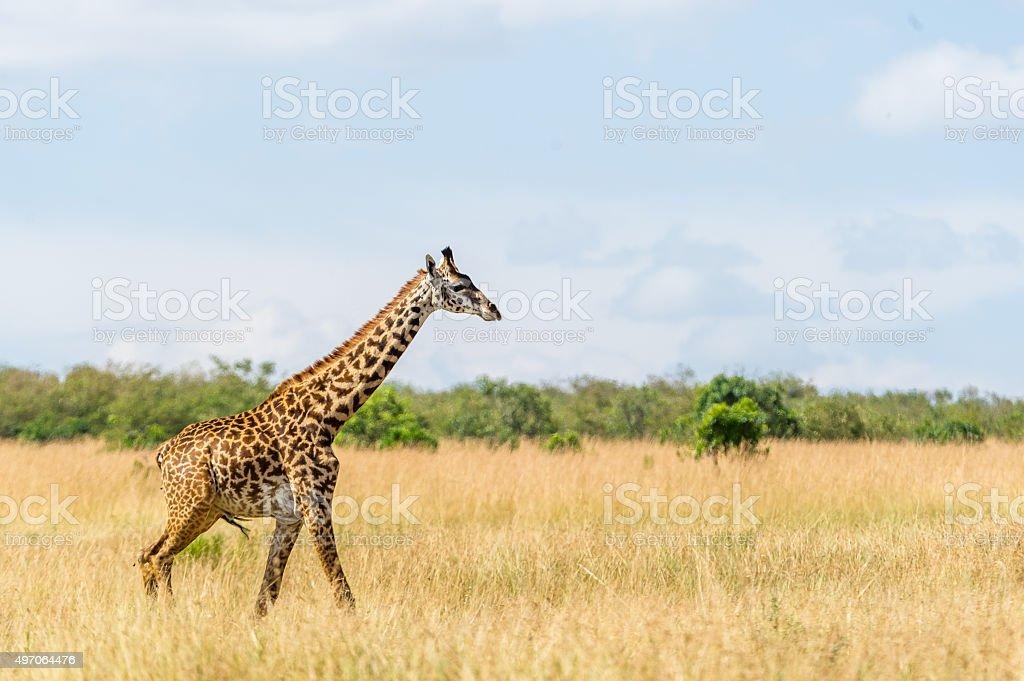 Giraffe in der Masai Mara stock photo