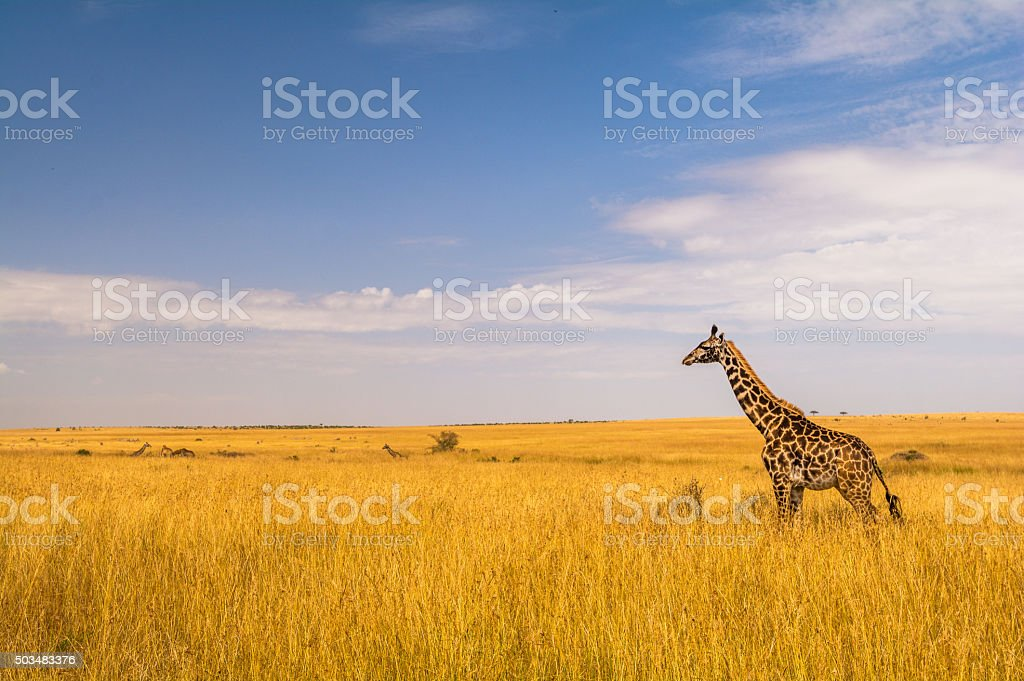 Eine Giraffe in der Masai Mara stock photo