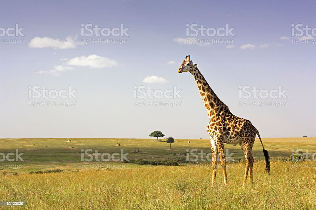 Giraffe in the savannah stock photo