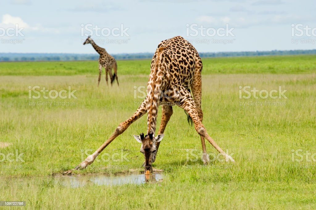 A giraffe is drinking water and one is standing by stock photo