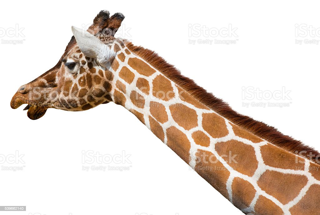 Giraffe Isolated on a White Background stock photo