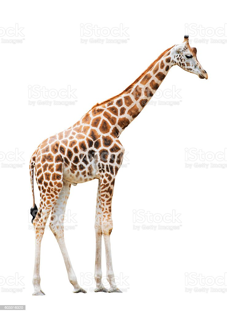 Giraffe isolated on white background stock photo