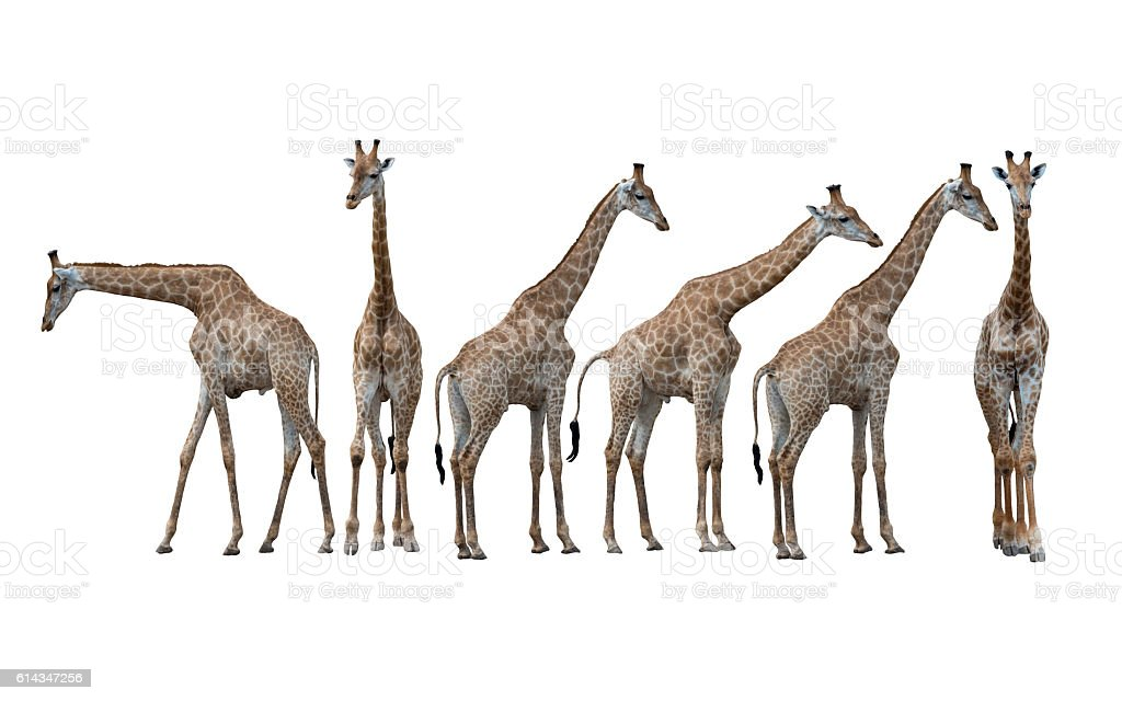Girafe isolé sur fond blanc  photo libre de droits