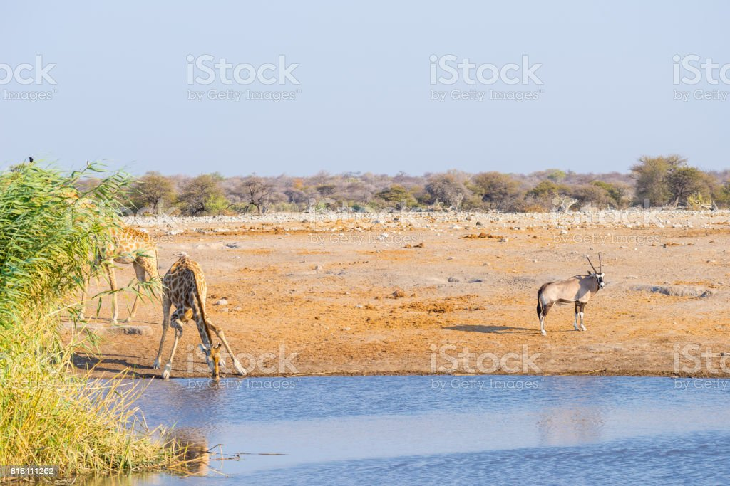 Giraffe kneeling and drinking from waterhole in daylight. Oryx standing on the pond bank. Wildlife Safari in Etosha National Park, travel destination in Namibia, Africa. stock photo