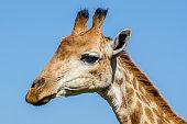 Giraffe, Kruger park South Africa
