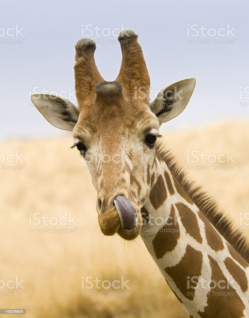 Giraffe Licking His Nose royalty-free stock photo