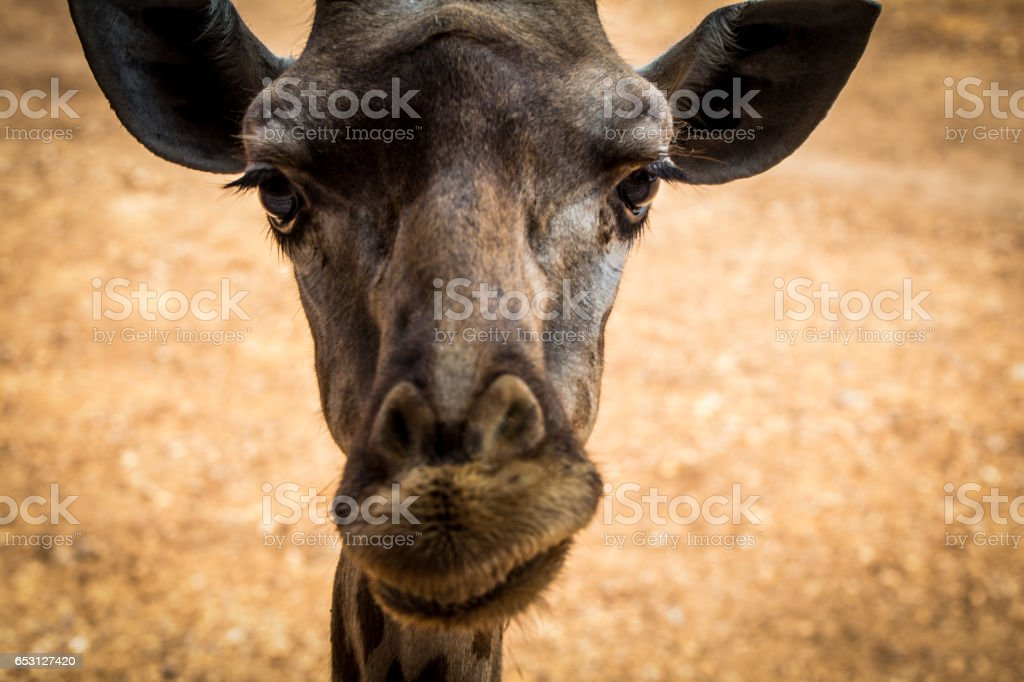 Giraffe look at camera and funny unhappy for cute stock photo