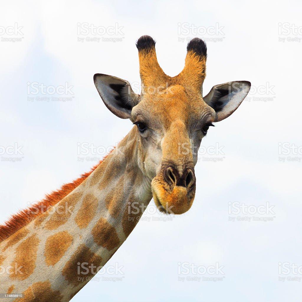 Giraffe looking at camera royalty-free stock photo