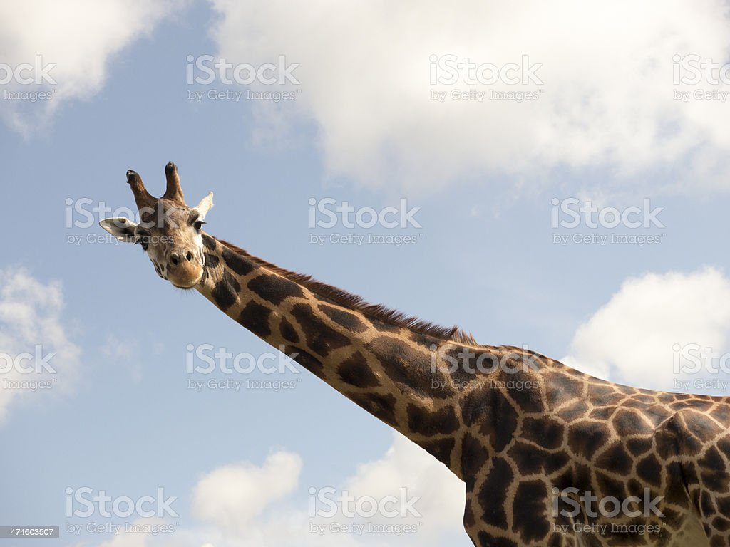 Giraffe looking down from above with blue sky and clouds royalty-free stock photo