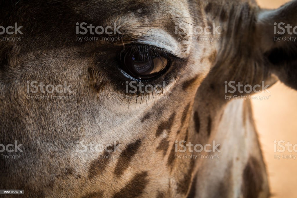 Giraffe looking eyes and cute face stock photo