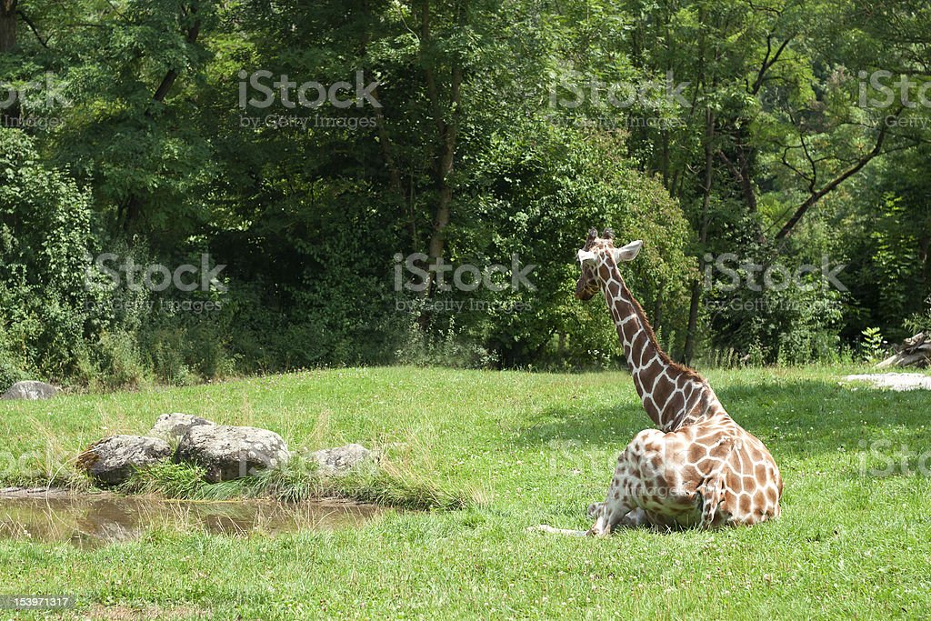 Giraffe Looking on a lake stock photo