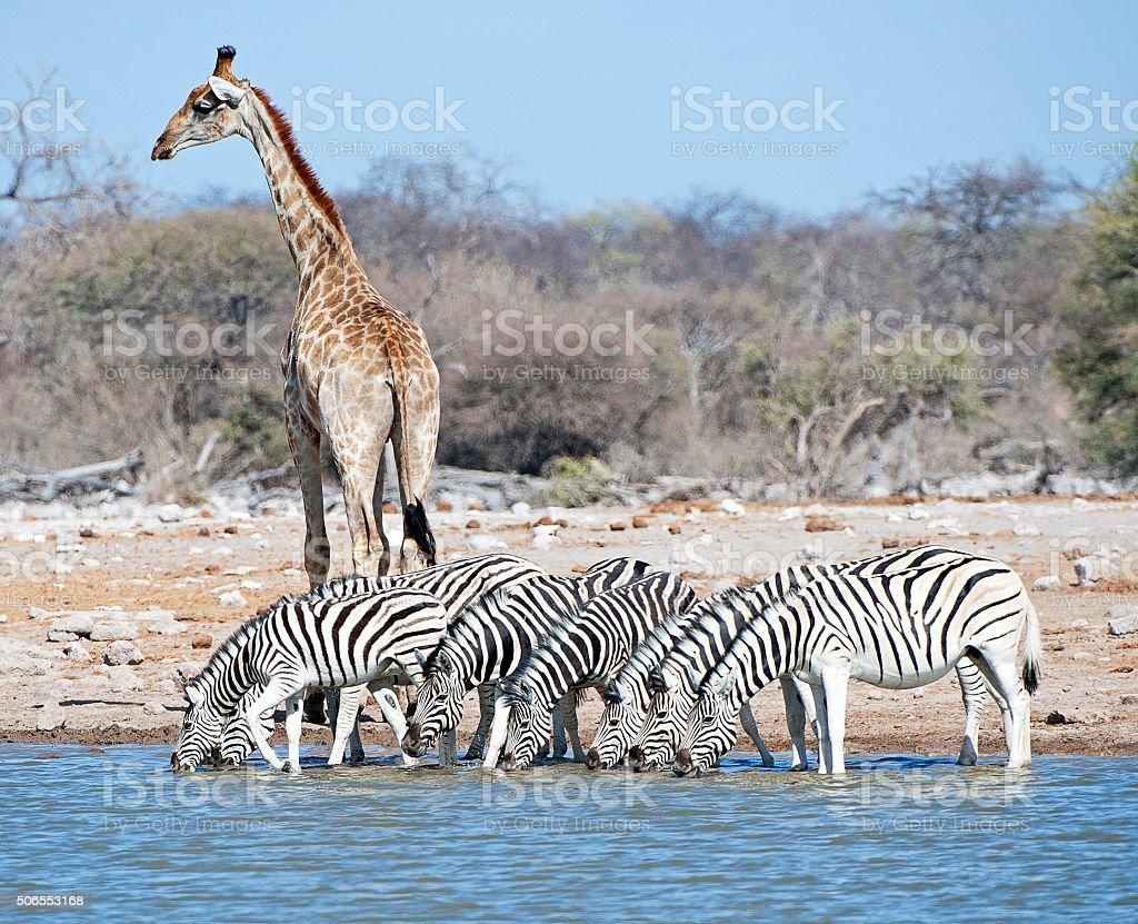 Giraffe lookout, Etosha National Park, Namibia, Africa stock photo