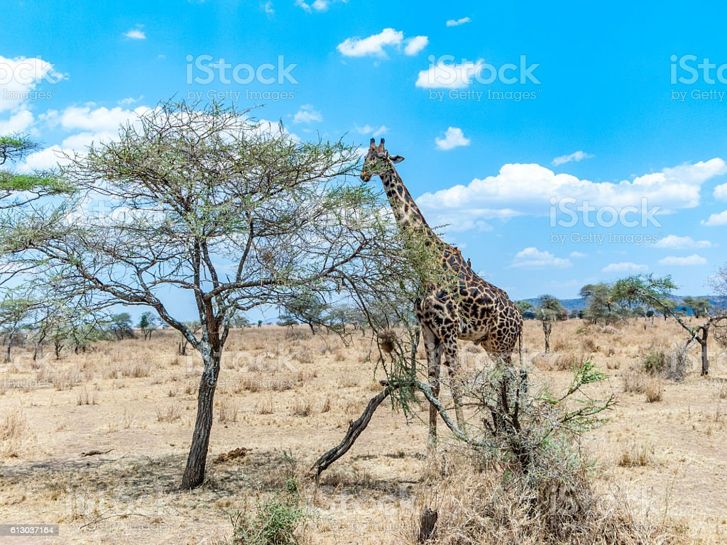 giraffe looks for food at the trees in the serengeti stock photo