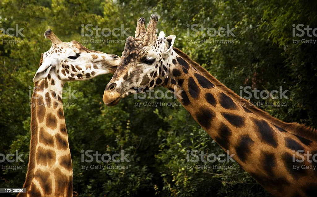 Giraffe Love royalty-free stock photo