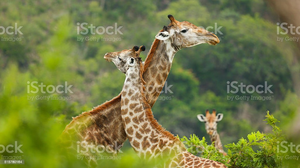 Giraffe Love stock photo