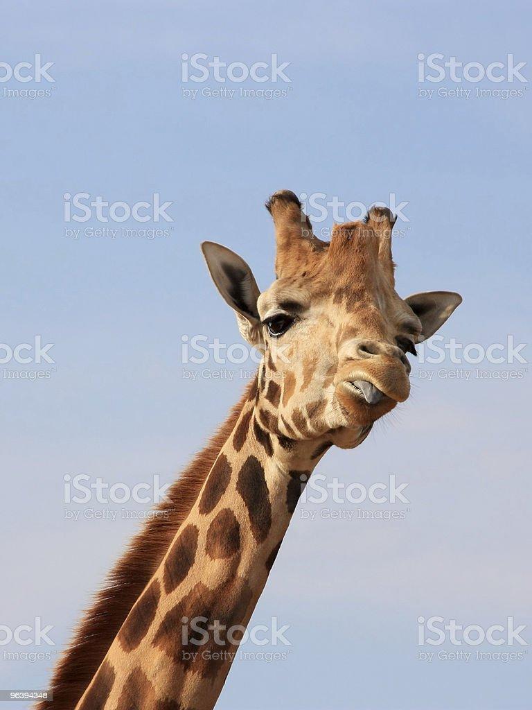 Giraffe Mocking royalty-free stock photo