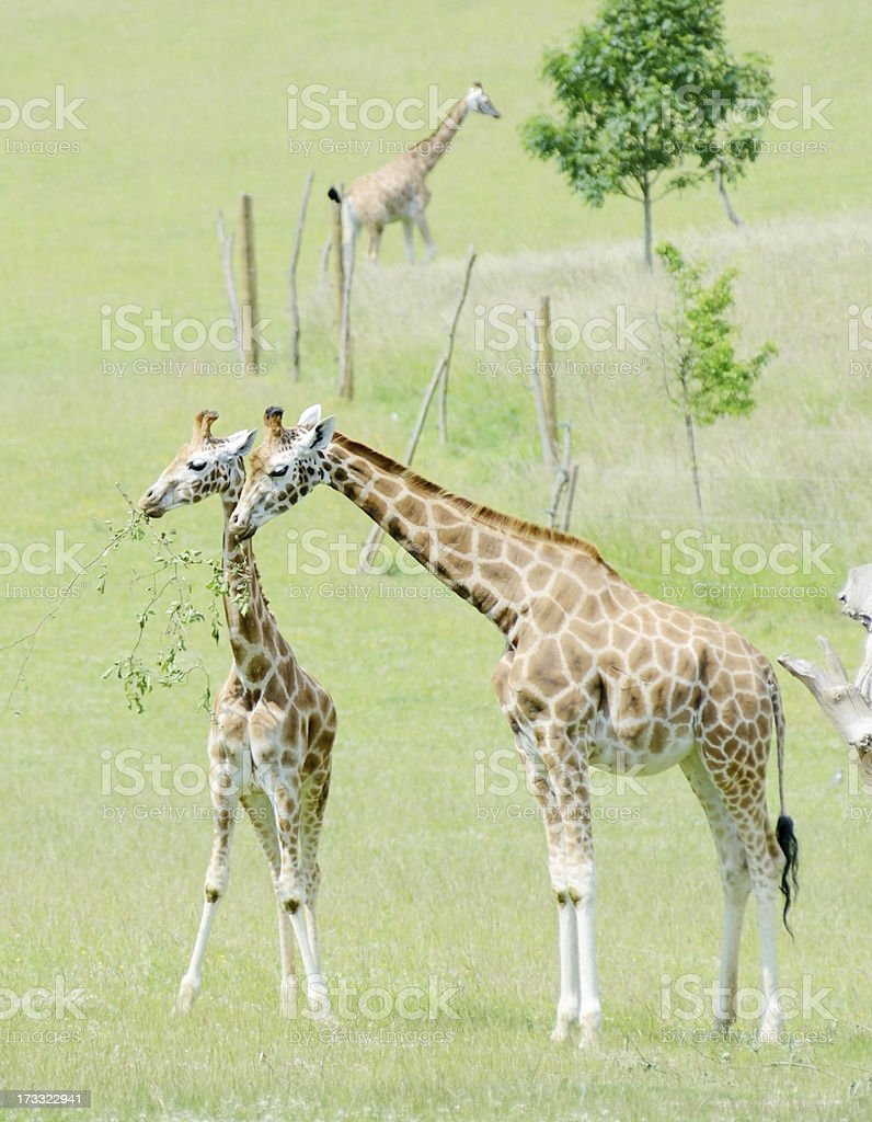 Giraffe mother and baby royalty-free stock photo