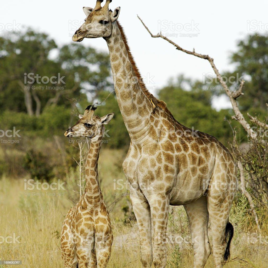 Giraffe mother and her  calf, Okavango Delta, Botswana stock photo