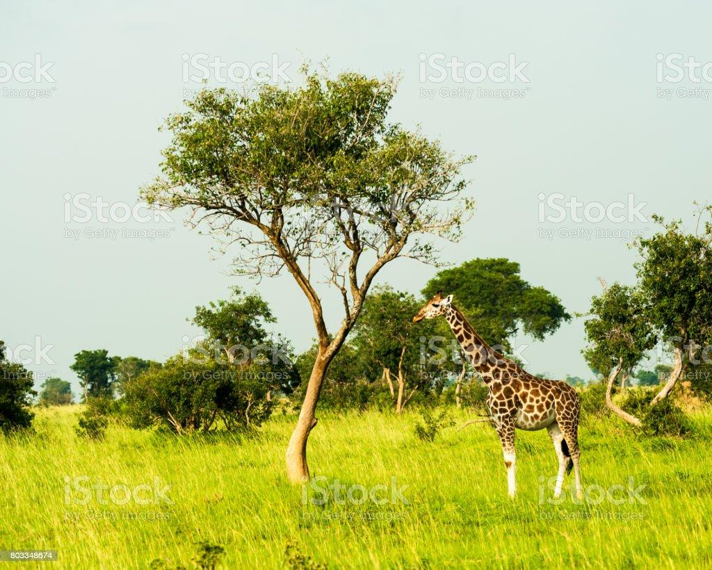 Giraffe, Murchison Falls National Park, Uganda stock photo