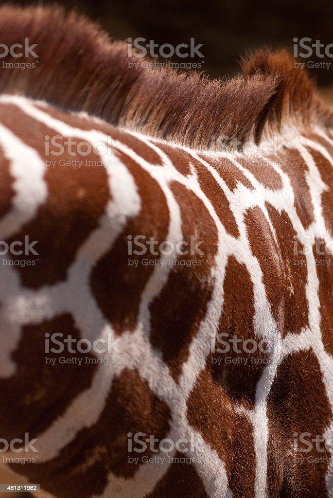Giraffe Neck and Hide Detail stock photo
