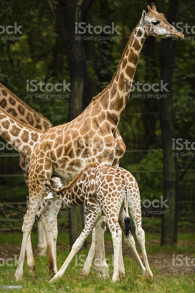 Giraffe Nursing its Calf royalty-free stock photo