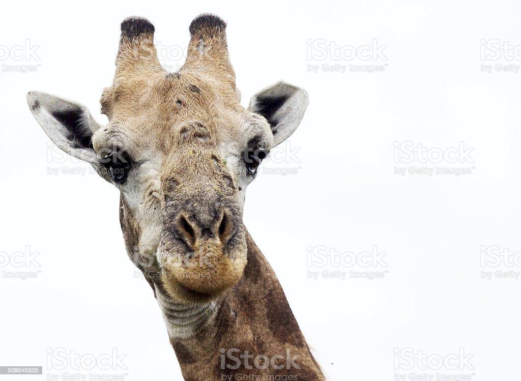 Giraffe - old age royalty-free stock photo
