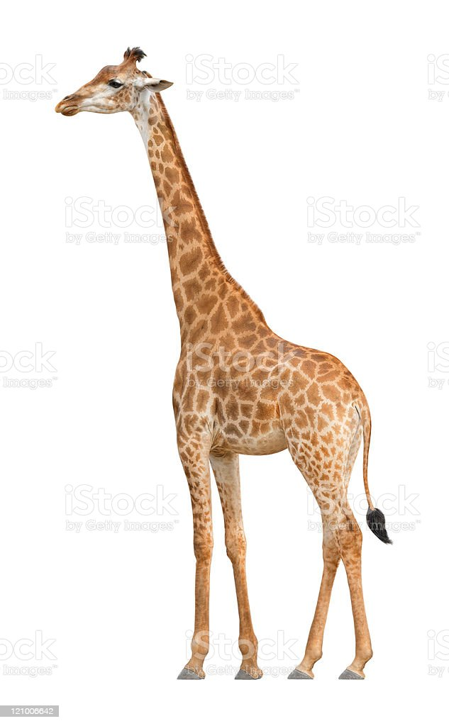 Giraffe on a white background stock photo