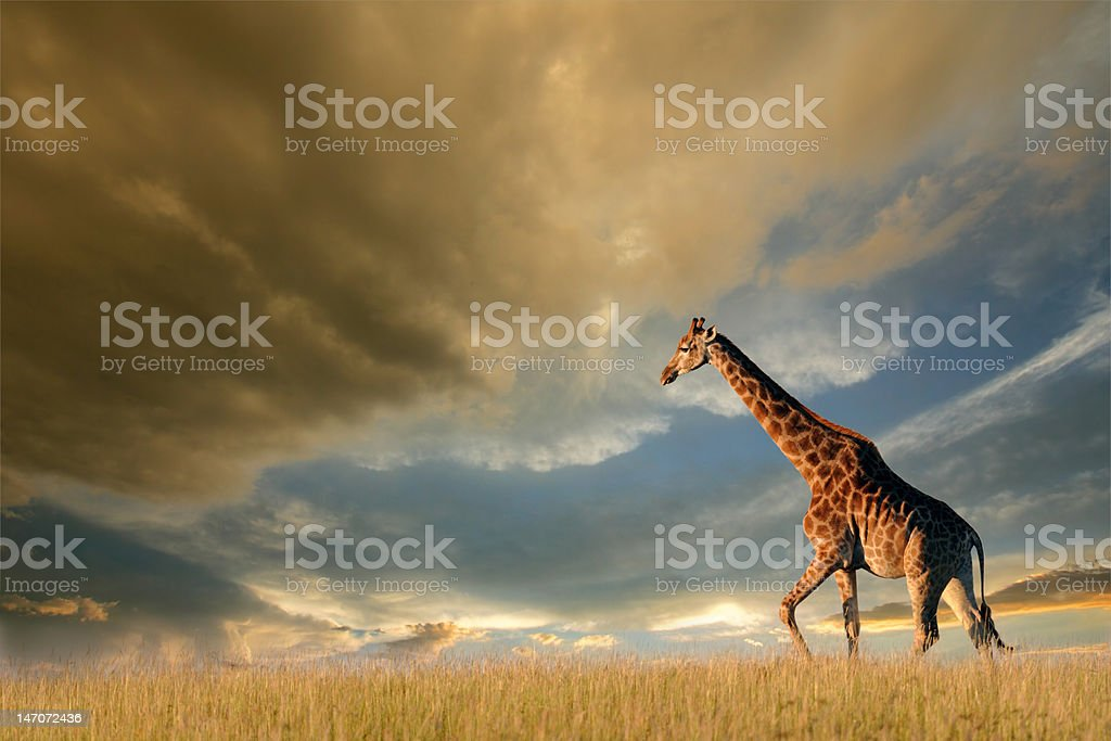Giraffe on African plains stock photo