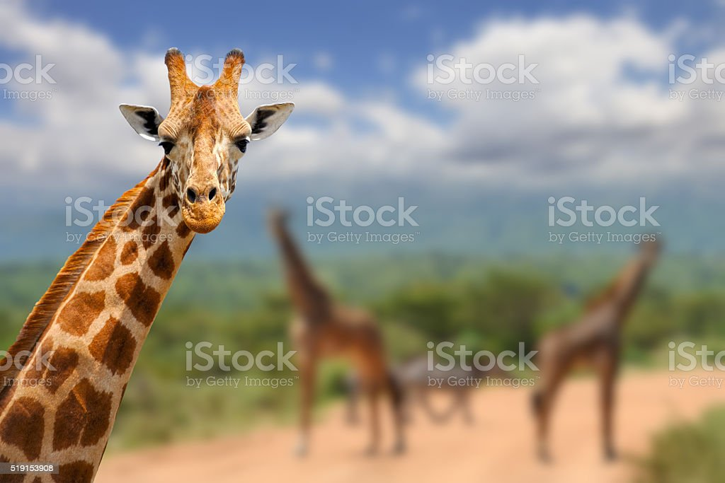 Giraffe on savannah in Africa stock photo