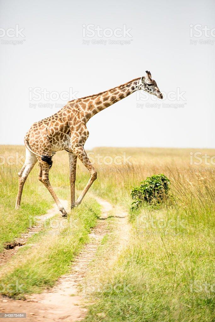 Giraffe on the road stock photo