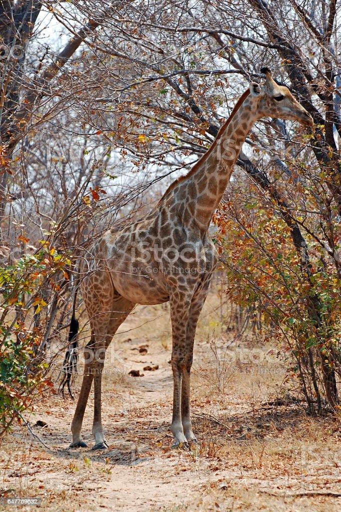 Giraffe on the roadside at Etosha National Park stock photo