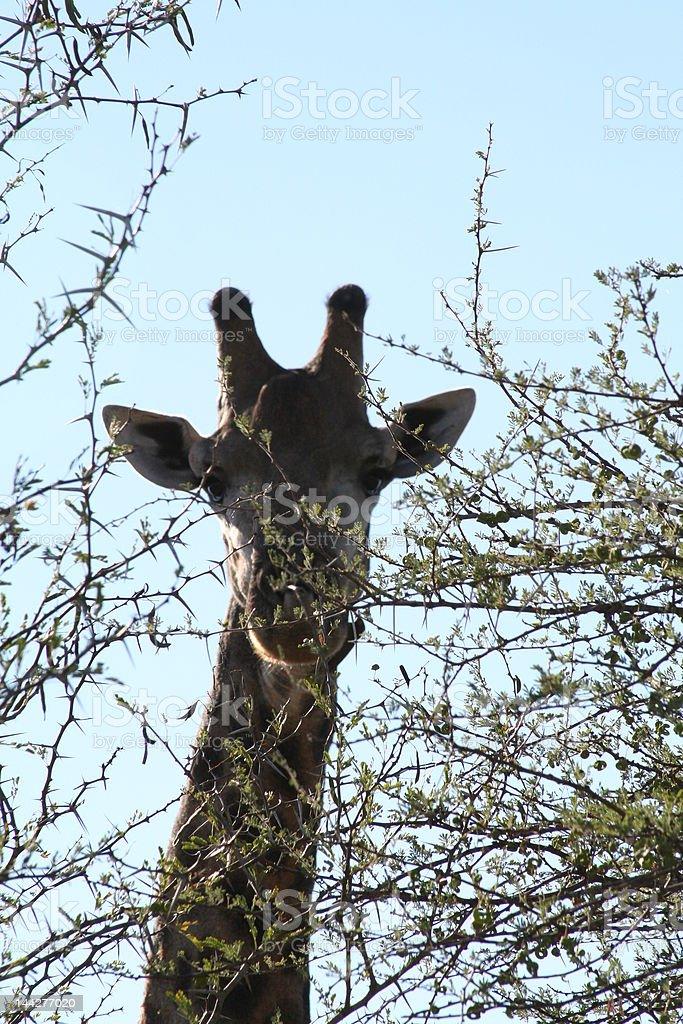 Giraffe peeking out stock photo