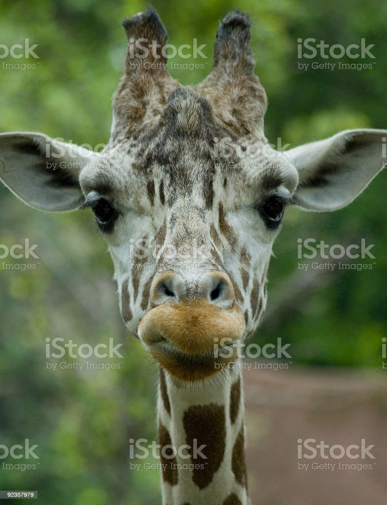 Giraffe Personality royalty-free stock photo
