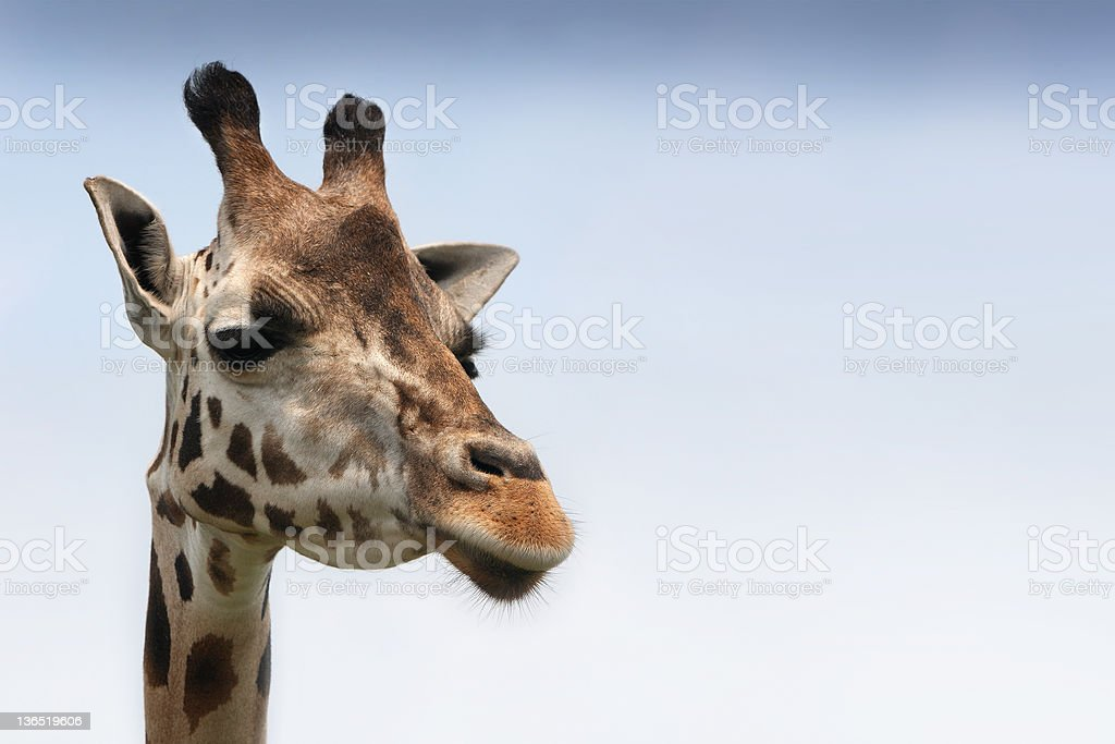 Girafa foto de stock royalty-free