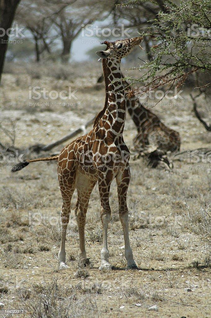 Girafa foto de stock royalty-free