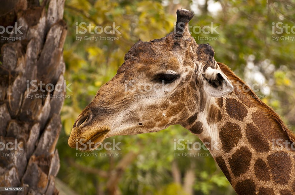 Żyrafa zbiór zdjęć royalty-free