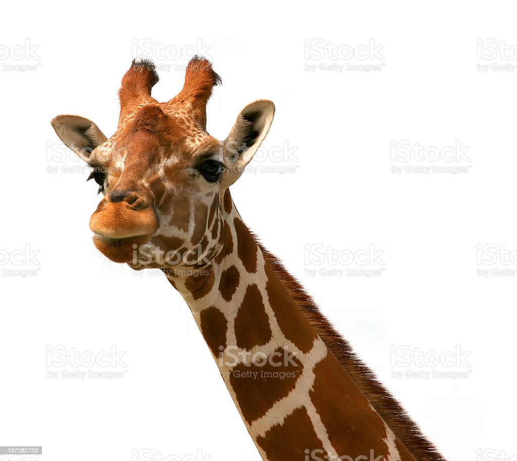 Giraffe (1) royalty-free stock photo